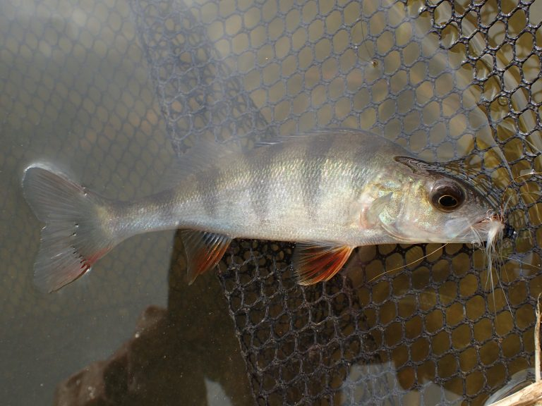 Perch on a trout fly