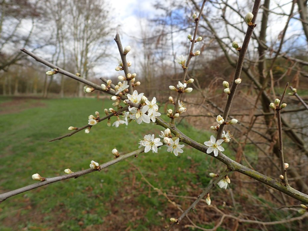 Westmill blackthorn