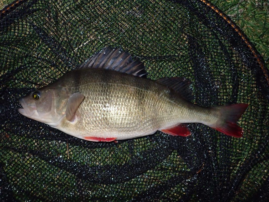Large perch