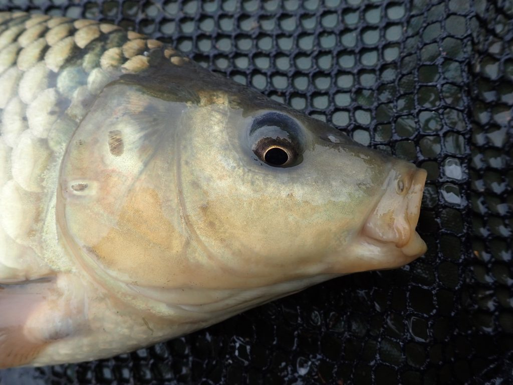 Head of common carp