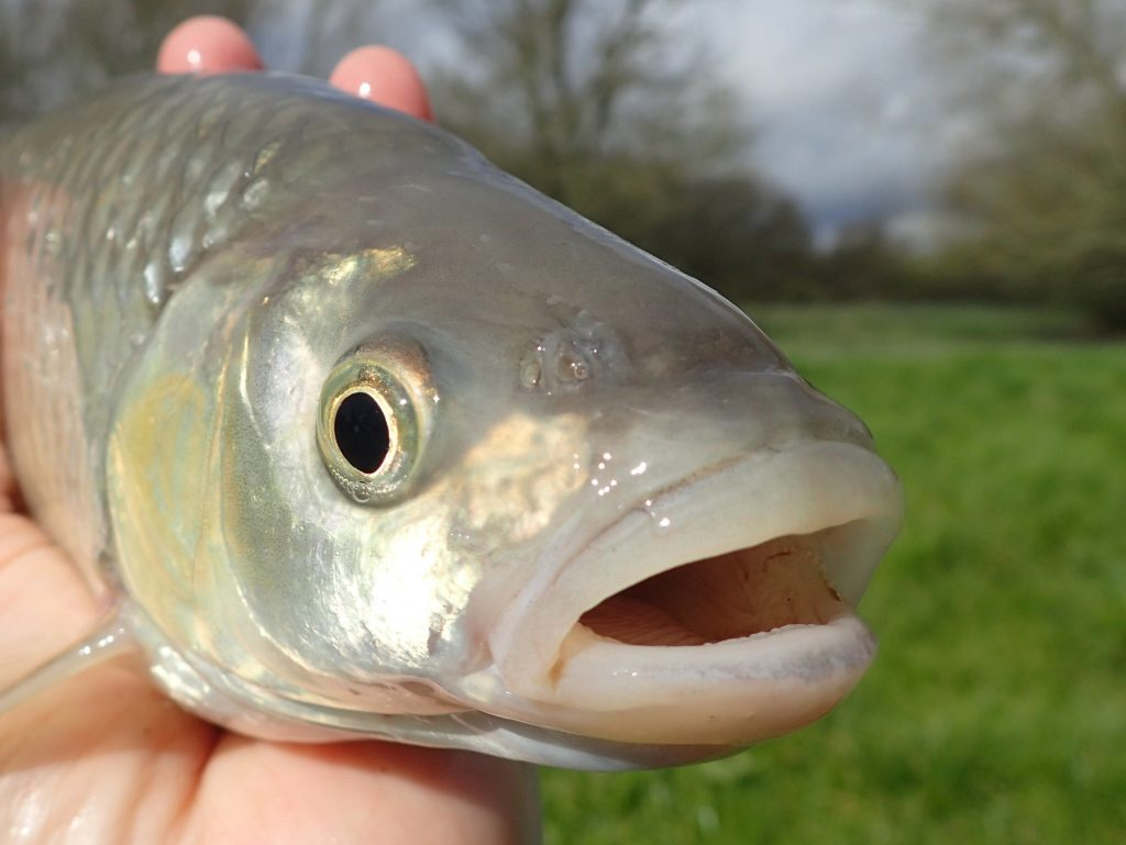 Head of a small chub
